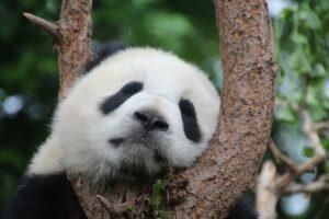 Sleeping panda